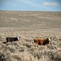 Cattle grazing on public lands near Steens Mountain, Oregon. ,