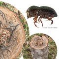 The spread of shothole borer beetles in South Africa is proving tough to control