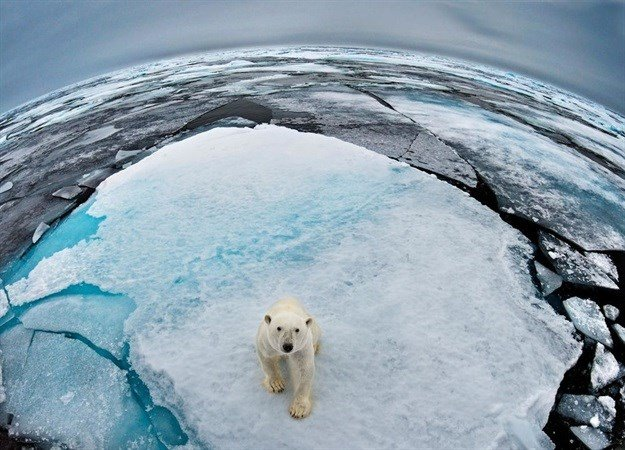 Polar Bear (Ursus maritimus) portrait in sea-ice landscape. Wide angle / fish-eye shot. Svalbard, Norway © naturepl.com / Andy Rouse / WWF