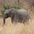 Call for comment on draft amendments for the management of elephants