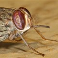 Zambezi Valley may soon be too hot for tsetse flies
