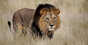 $1bn annually is what's needed to save Africa's lions - here's how we arrived at the price tag