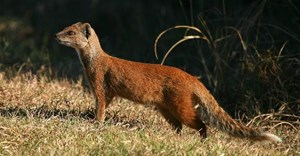 Yellow mongoose probably don't come to mind when thinking of scavengers - but they have been found to scavenge and scatter body parts. Jonathan Pledger/Shutterstock