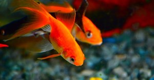Attention spans - the evolution of a goldfish