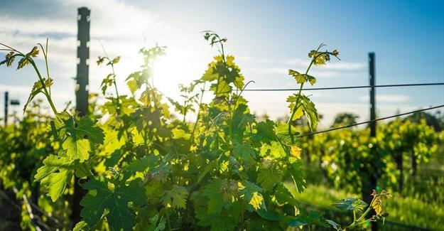 Debilitating drought no match for SA wine