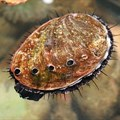 Abalone. Image by Toby Hudson, CC BY-SA 3.0,