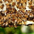Honey bees, already at risk, face a new threat from a common herbicide