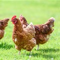 Stellenbosch University student develops first gut probiotic for broiler chickens