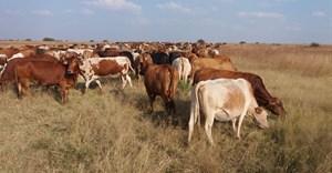 High density grazing can improve rangelands