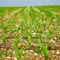 South Africa's 2018/19 maize harvest estimate lowered