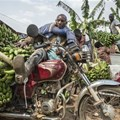 A motorcyclist has his vehicle loaded with hands of matoke - ©Panos