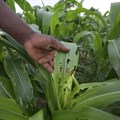 African countries should turn to lower risk solutions to fight fall armyworm