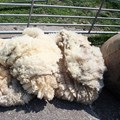 FMD: Minimal impact on wool exports