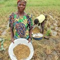 Why Nigeria should first support rice farmers before it cuts off imports