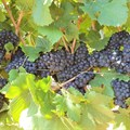 SA wine harvest trends to look out for per region