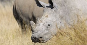 Mokonyane reports progress made on curbing rhino poaching