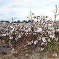 UNIDO launches Better Cotton Initiative (BCI) pilot project in Egypt