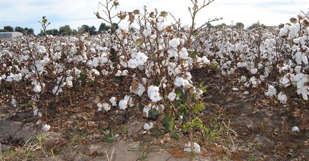 UNIDO launches Better Cotton Initiative (BCI) pilot project in Egypt