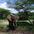 New survey raises concerns about elephant poaching in Botswana