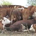 Zambia: FMD outbreak in southern province