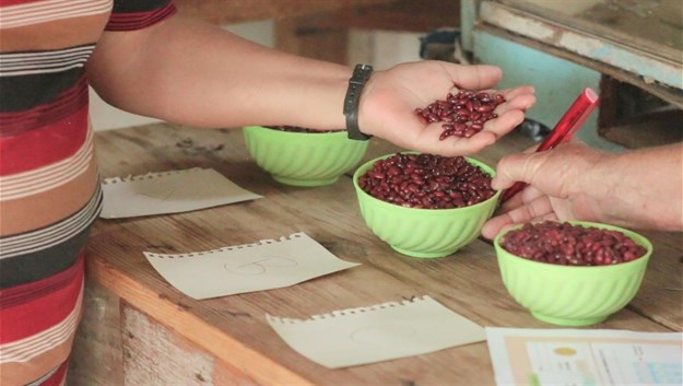 Common bean seeds were used in the experiment in Nicaragua.<br>©Bioversity International.
