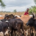 Tanzanian farmers don't vaccinate against foot and mouth disease. Here's why