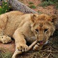 South Africa kicks the can down the road on captive predator breeding