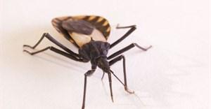 Kissing bug: spreader of Chagas disease. schlyx/Shutterstock