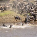 The Great Migration river crossing. Image source: