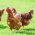 Research shows SA remains efficient in global chicken production