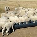 Creep feeding gives sheep farmers the edge