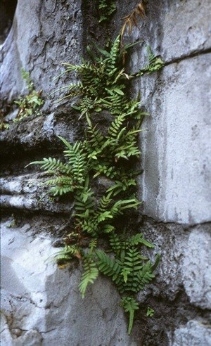 Chinese brake fern (Pteris vittata) can accumulate arsenic during growth. ,