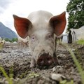 SAPPO confirms outbreak of African swine fever in the North West