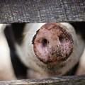 African Swine Fever update