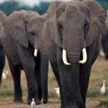 New report confirms African elephants under continued threat of poaching