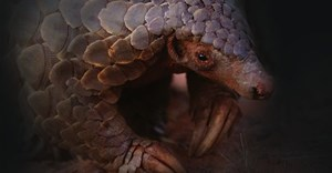 Eye of the Pangolin to premiere on Endangered Species Day
