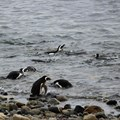 Results from new study on penguins could help inform fishery management