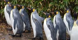 Penguins' behaviour could aid fisheries management