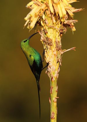 Malachite Sunbird by Peter Ryan