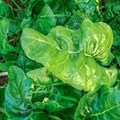 Spinach is more prone to carrying bacteria and pathogens, study finds.