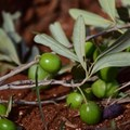Researchers set sights on cataloguing the genetic diversity of insects pestering SA olives