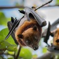 Fruit bats can pass Ebola on to humans. Jeffrey Paul Wade/Shutterstock