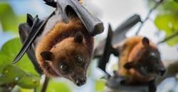 Fruit bats can pass Ebola on to humans. Jeffrey Paul Wade/Shutterstock