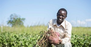 Sweet potato 'ideal dual-purpose crop' for smallholders