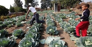 Smallholder crop farming is on the decline in South Africa. Why it matters