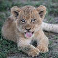 Cuddling a lion cub can undermine conservation efforts