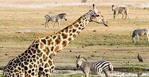 Chobe Safari with Chobe Bush Lodge - 4 days