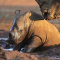Rhino Momma Project in desperate need of donations