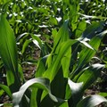Summer crop estimate revised higher
