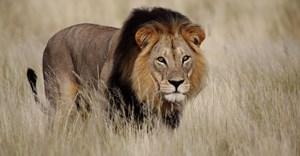 High court sets aside 2017, 2018 lion bone quotas